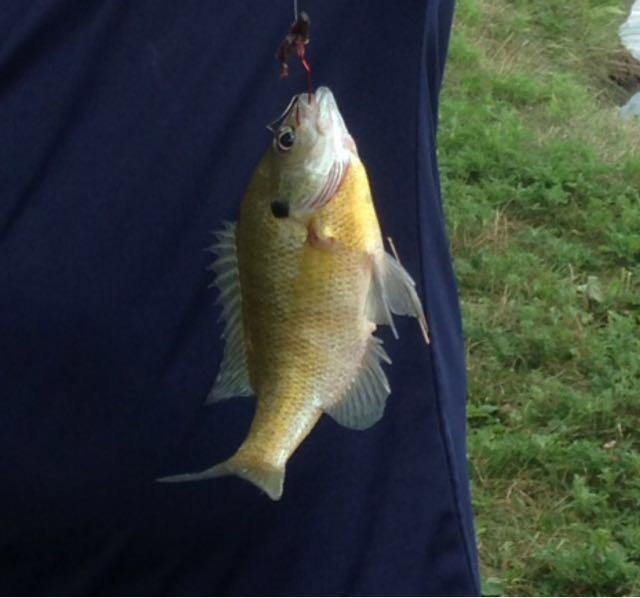 Could not find bluegill so I put trout