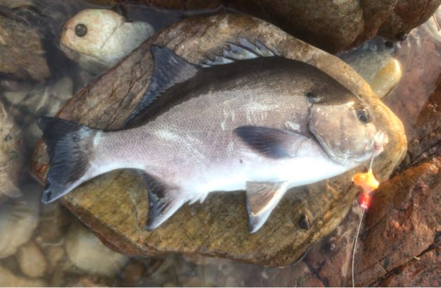 South Africa's national fish. Butterball. Safely released